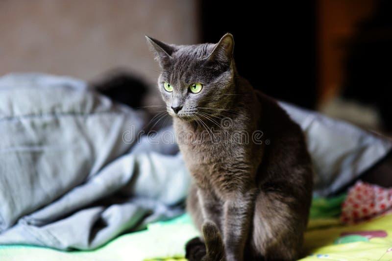 Härlig grå katt hemma Gr?splan synar arkivfoto