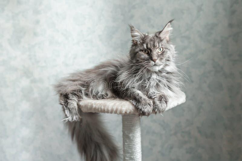 Härlig grå Maine Coon katt som ligger på en ställning royaltyfri bild