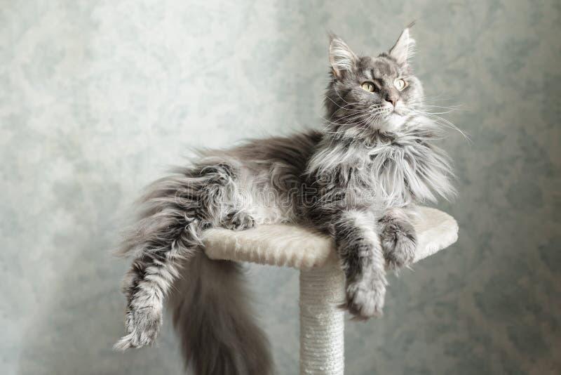 Härlig grå Maine Coon katt som ligger på en ställning arkivfoton