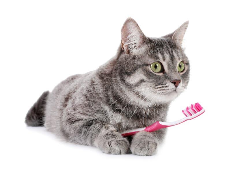 Härlig grå strimmig kattkatt med tandborsten royaltyfri fotografi