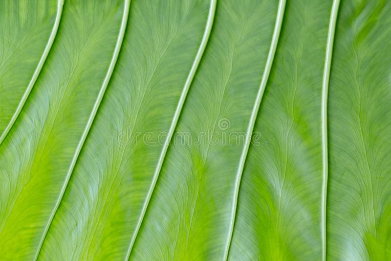 Härlig grön bladbakgrund med vertikala tjocka åder Ojämn ljus textur- och sidastruktur Naturlig textural yttersida royaltyfri bild