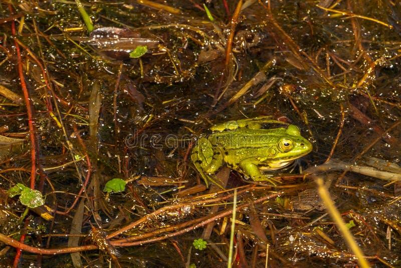 Härlig grön groda i vattnet fotografering för bildbyråer