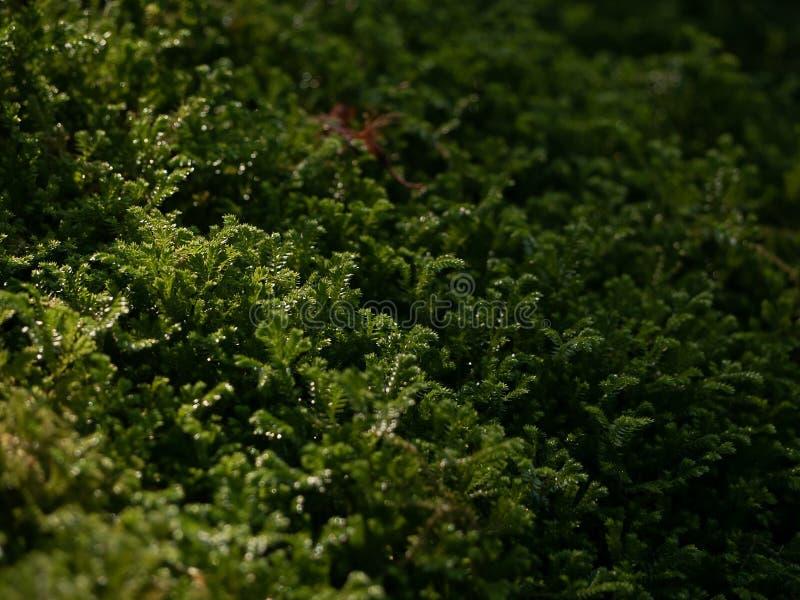 Härlig grön mossa med dewpoint i solljuset på golvet, mossacloseup, makro Härlig bakgrund av mossa för tapet royaltyfria foton