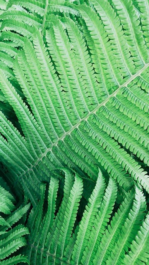 Härlig grön ormbunke i trädgården royaltyfri foto