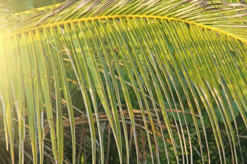 Härlig grön palmblad och sol Grön bakgrund av palmträd exotiskt tropiskt för bakgrund kopiera avstånd arkivbild