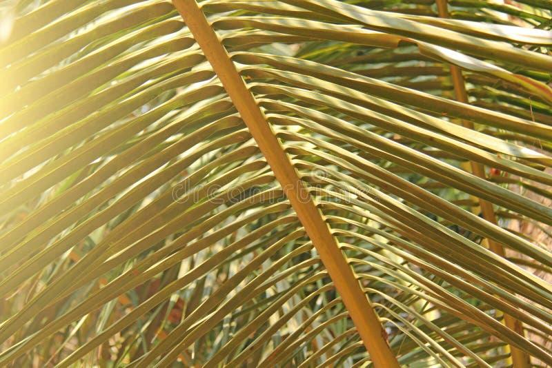 Härlig grön palmblad och sol Grön bakgrund av palmträdet arkivfoton