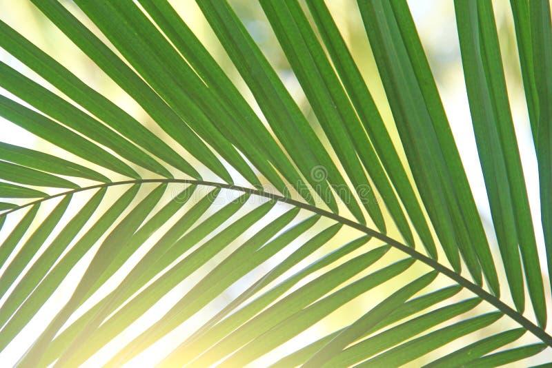 Härlig grön palmblad och sol Grön bakgrund av palmträdet arkivbilder
