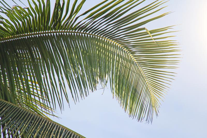 Härlig grön palmblad och sol Grön bakgrund av palmträdet royaltyfri foto
