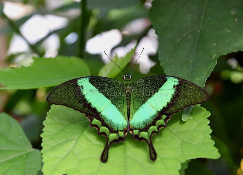 Härlig grön Papilio palinurusfjäril på ett grönt blad royaltyfri fotografi