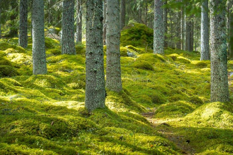 Härlig grön skog med tjock mossa på golvet royaltyfria foton
