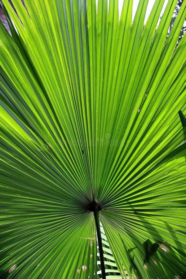 Härlig grön tropisk palmblad royaltyfria foton