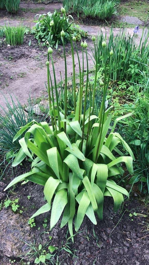 Härlig grön växt med knoppar i trädgården fotografering för bildbyråer