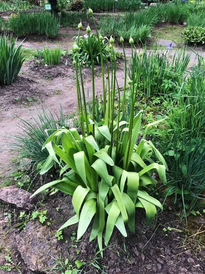 Härlig grön växt med knoppar i trädgården arkivbild