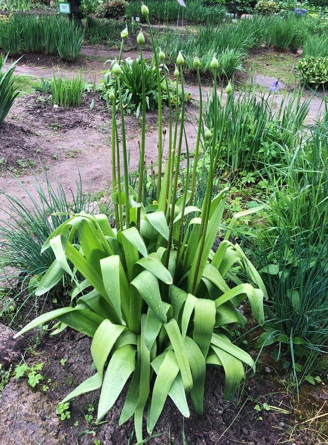 Härlig grön växt med knoppar i trädgården royaltyfri bild