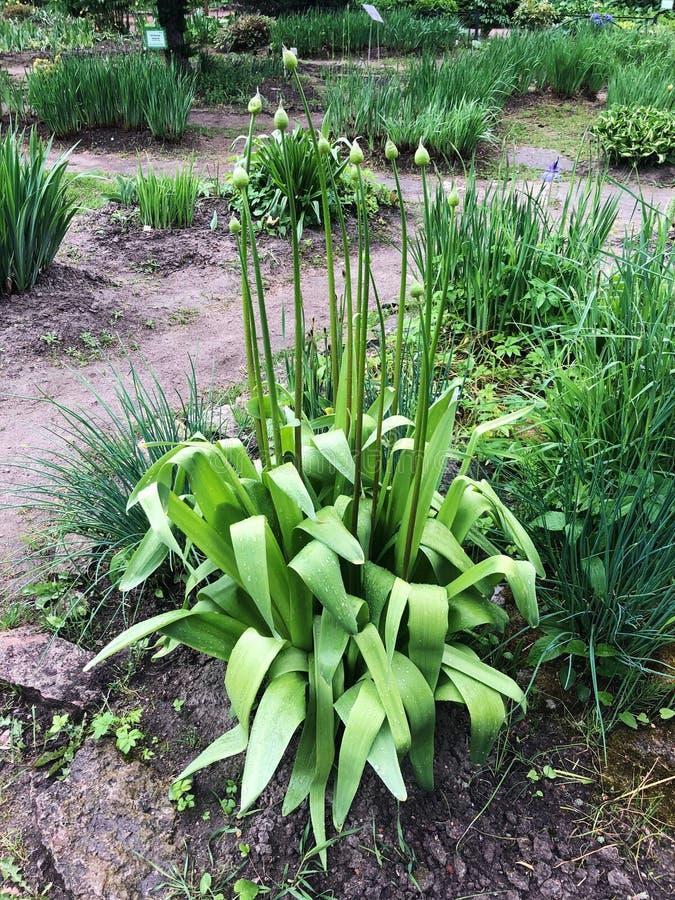Härlig grön växt med knoppar i trädgården royaltyfria foton