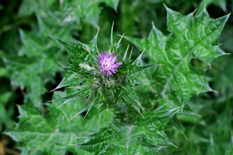 Härlig grön växt med törnar och en liten purpurfärgad blomma royaltyfria foton