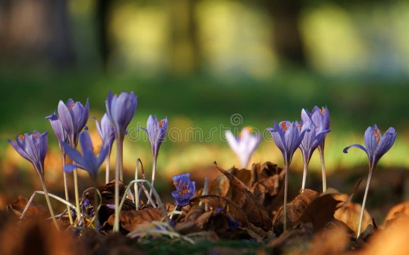 Härlig groupe av violetta krokusar i skogen arkivfoto