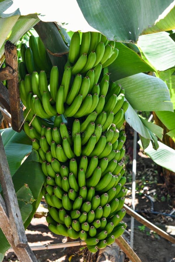 Härlig grupp av bananer i ett bananträd på madeiraön i Portugal fotografering för bildbyråer