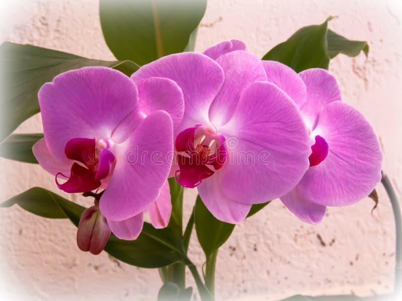 Härlig grupp av rosa orkidéblommor royaltyfri fotografi