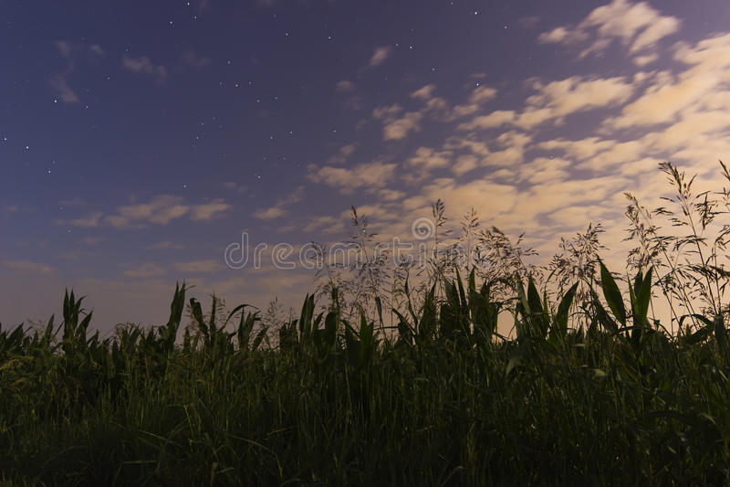 Härlig gryninghimmel med vita moln för stjärnor och cornfield royaltyfri foto