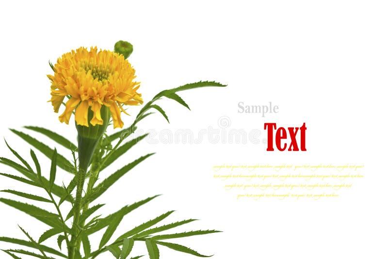 Härlig gul blomma (afrikanska ringblommor, Tagetes) som isoleras royaltyfri foto