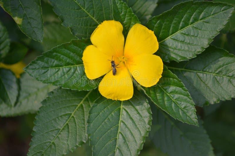 Härlig gul blomma från min trädgårdinThailand arkivfoton