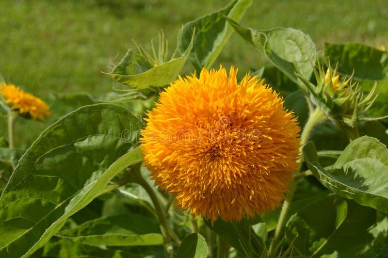 Härlig gul blomma i strålkastaren arkivfoto