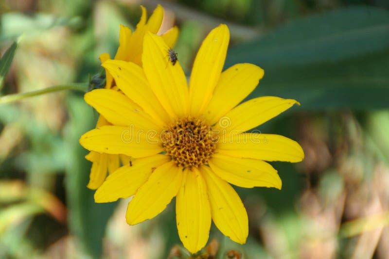 Härlig gul blomma med flugan på den royaltyfri fotografi