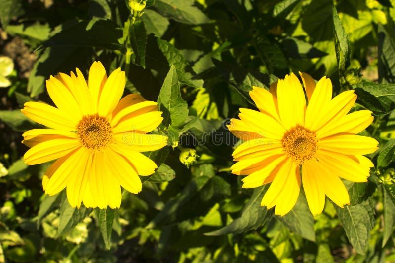 Härlig gul blomma som blommas i vår Natur Tr?dg?rd V?r royaltyfri foto