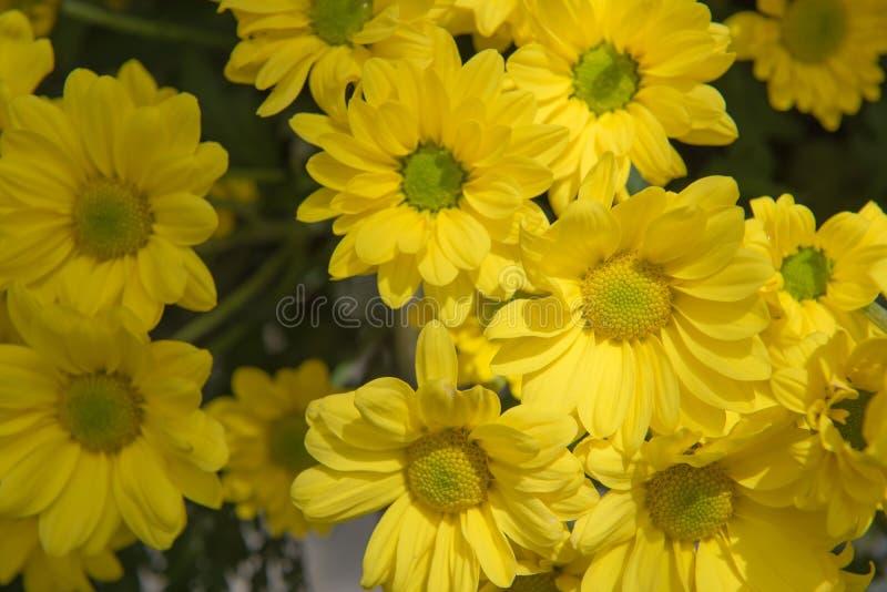 Härlig gul blommagerberaväxt i trädgården royaltyfria bilder