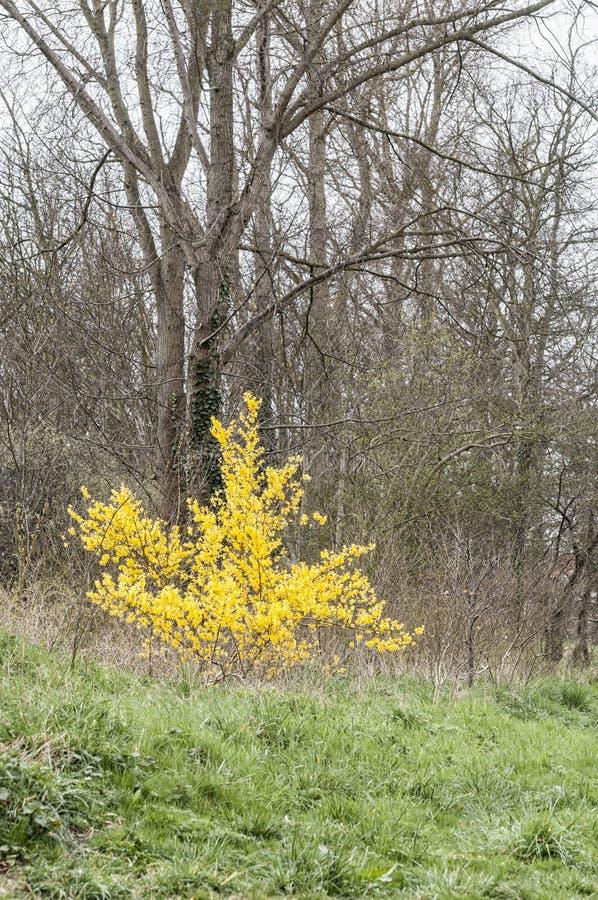 Härlig gul maskros som framme står av en skog fotografering för bildbyråer