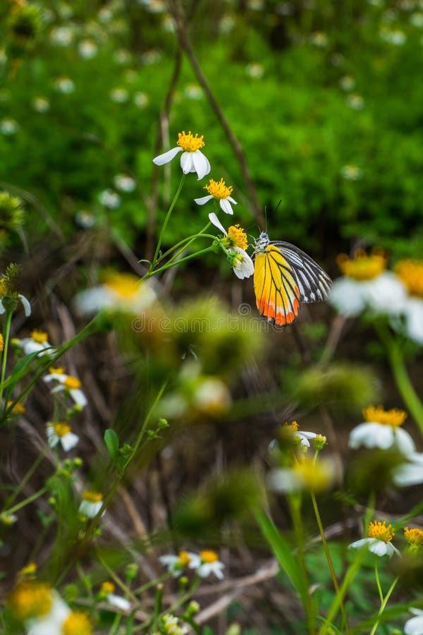 Härlig gul och svart fjäril för apelsin, på blommor i fälten i natur arkivfoton
