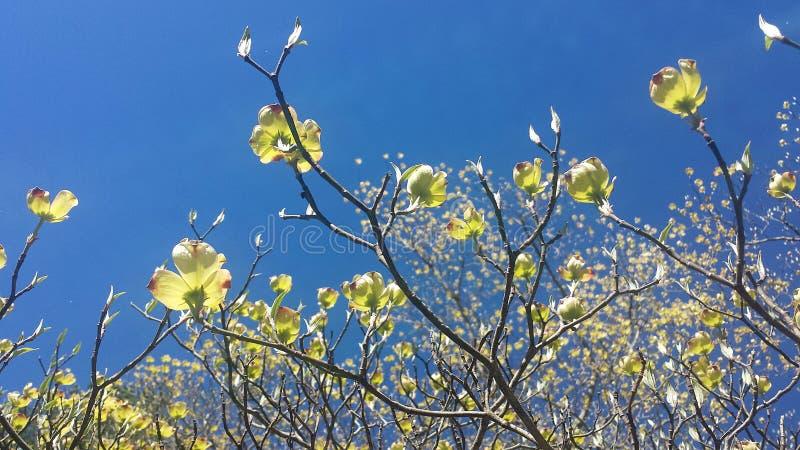 Härlig gul skogskornell förgrena sig med blommor i de rökiga bergen av North Carolina royaltyfria foton