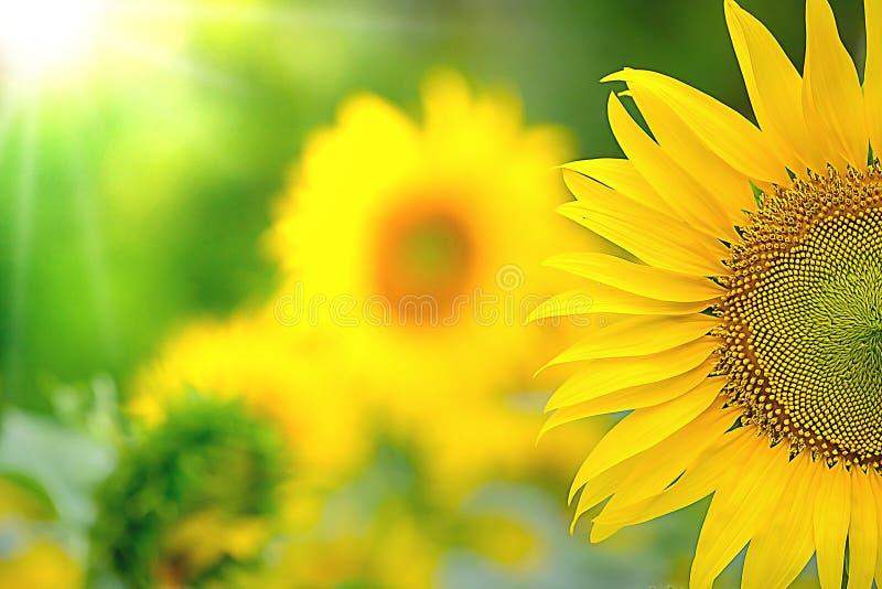 Härlig gul solros för morgonsoluppgång royaltyfri fotografi