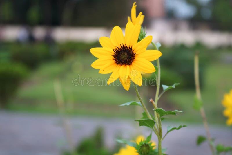 Härlig gul solros i Bangladesh Denna bild fångade vid mig från Rangpur Jamidar Bari Flower Garden arkivfoton