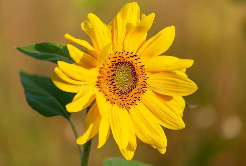Härlig gul solros i natur royaltyfri bild