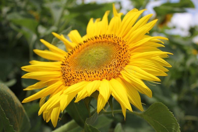 Härlig gul solros i sommar i fältet royaltyfria foton