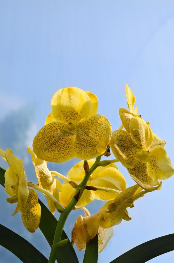 Härlig gul vanda orkidéblomma royaltyfri foto