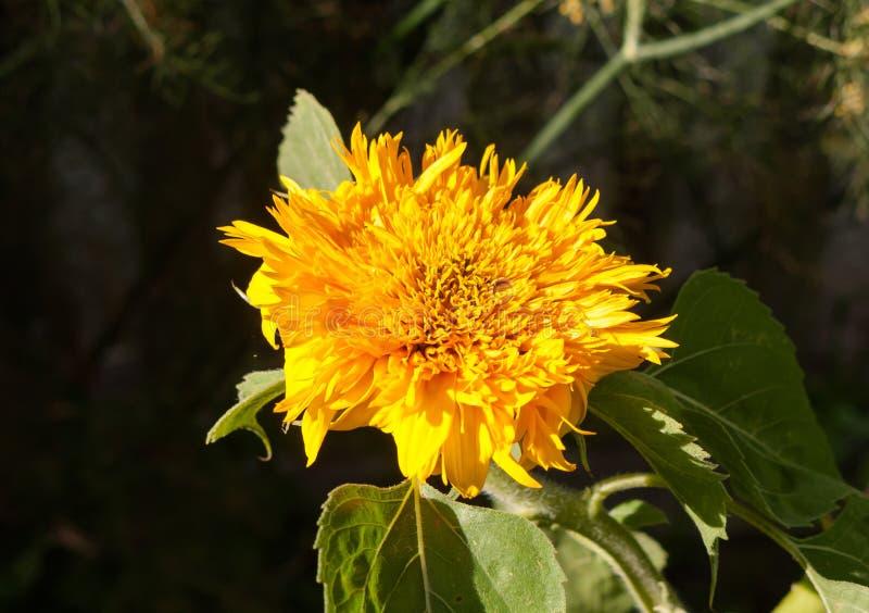 Härlig guld- flödande solblomma som ser växten royaltyfri bild