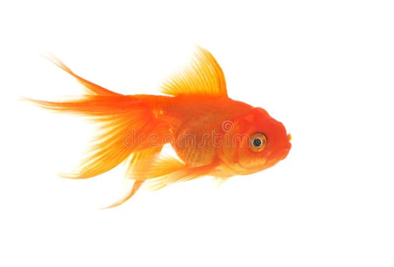 härlig guldfisk royaltyfri bild