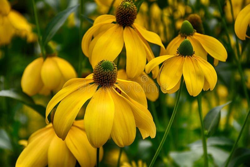 Download Härlig Guling Blommar I Trädgården Fotografering för Bildbyråer - Bild av blomma, växt: 78728621