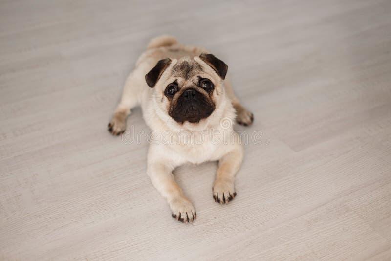 Härlig gullig inhemsk mops för älsklings- hund som ligger på trägolvet royaltyfri fotografi