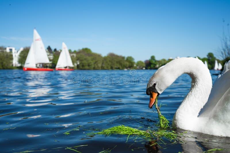 Härlig gullig vit nådsvan på Alster sjön på en solig dag Vitt nöje seglar fartyg som passerar i bakgrund arkivbild
