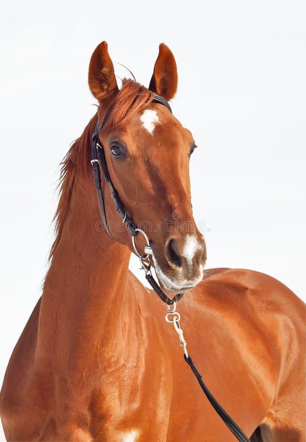 härlig häst isolerad ståendesorrel arkivbild