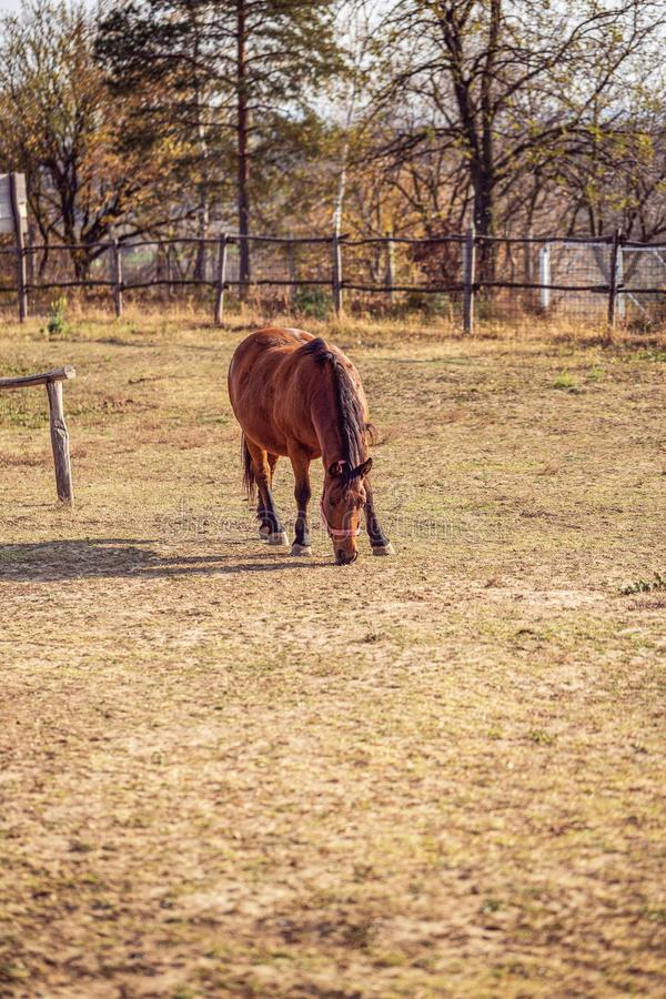 Härlig häst som betar i en äng och äter gräs arkivfoton