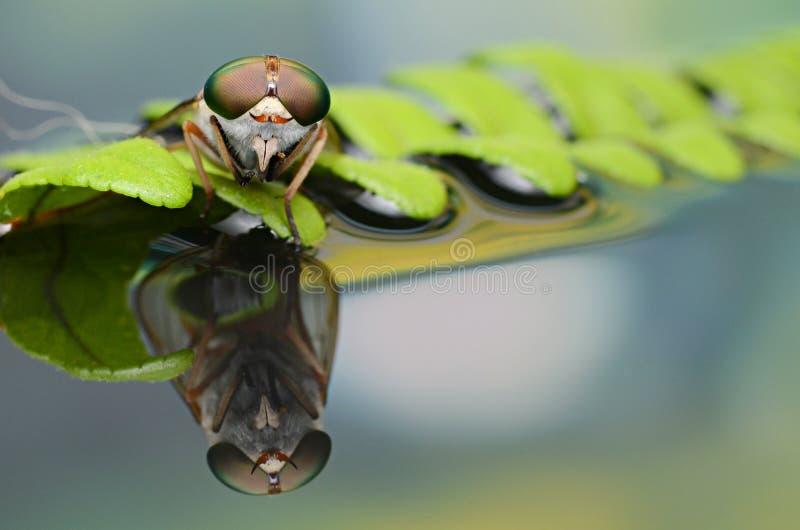 Härlig hästfluga med mustaschen royaltyfri foto