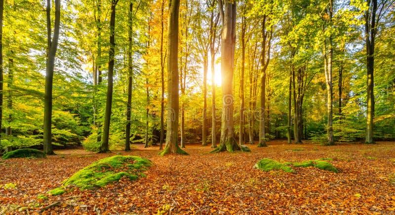 Härlig höst färgat landskap för bokträdträd royaltyfri bild