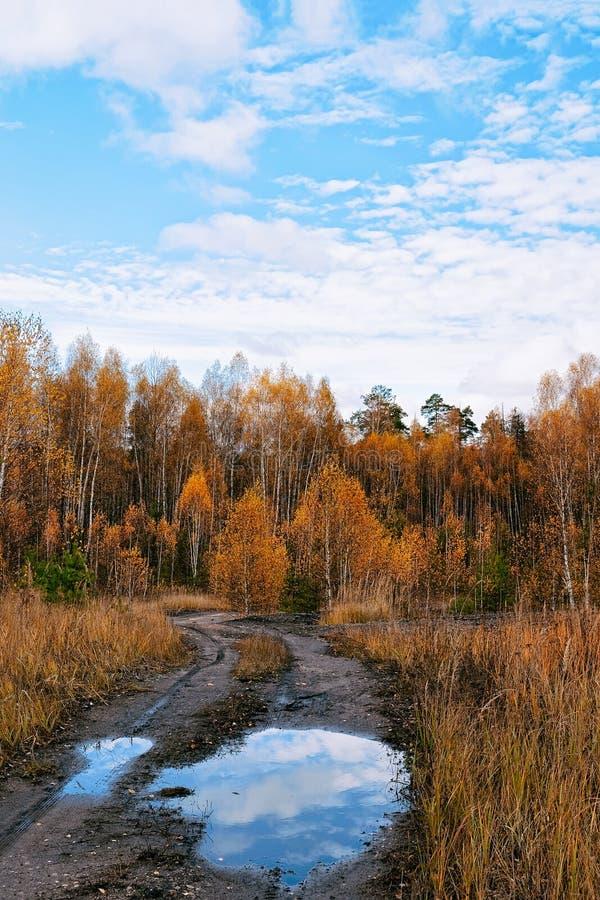 Härlig höst på skogen av gula björkar Kaluga i Ryssland royaltyfri bild