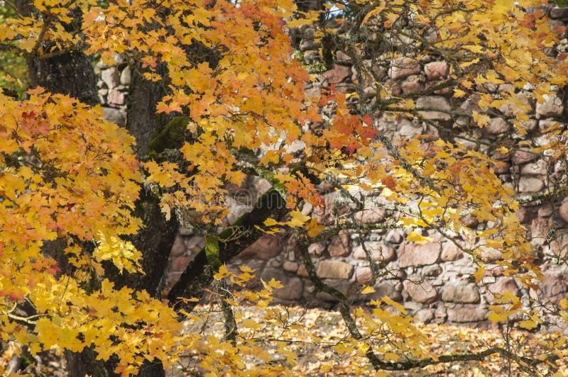 Härlig höstbakgrund med färgrika sidor av det Norge lönnträdet i solig dag fotografering för bildbyråer