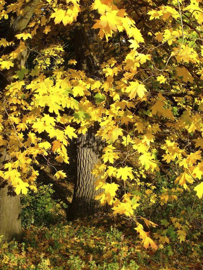Härlig höstlönn i en parkera med stora gula sidor fotografering för bildbyråer